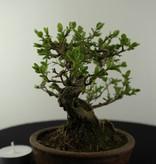Bonsai Shohin Japanese honeysuckle, Lonicera japonica, no. 6962