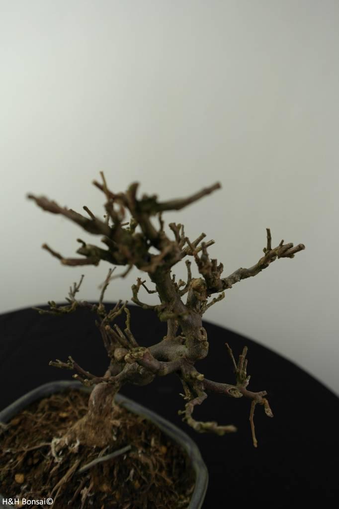 Bonsai Shohin Japanese snowbell, Styrax japonicus, no. 6964