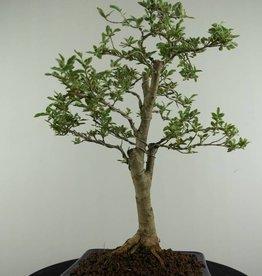 Bonsai Troène panaché, Ligustrum variegata, no. 6985