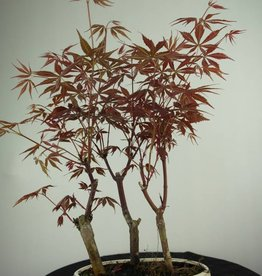 Bonsai L'Erable du Japon, Acer Palmatum, no. 7015
