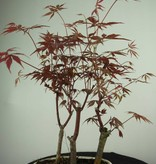 Bonsai Japanese maple, Acer Palmatum, no. 7015