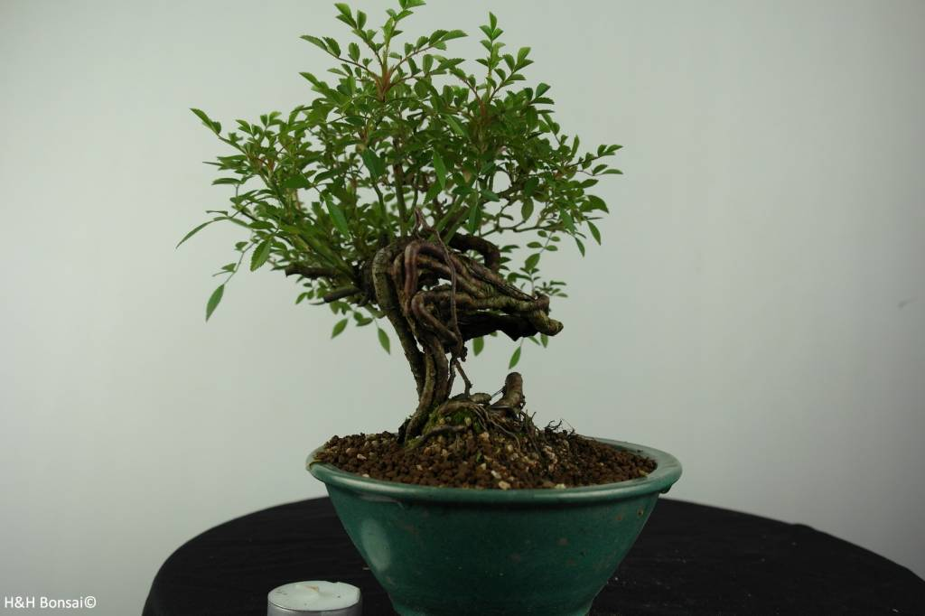 Bonsai Rosa sp., no. 6525