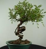 Bonsai Rosa sp., no. 6526