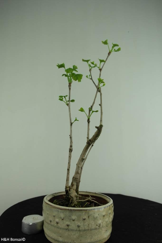 Bonsai Ginkgo biloba, Maidenhair tree, no. 6309