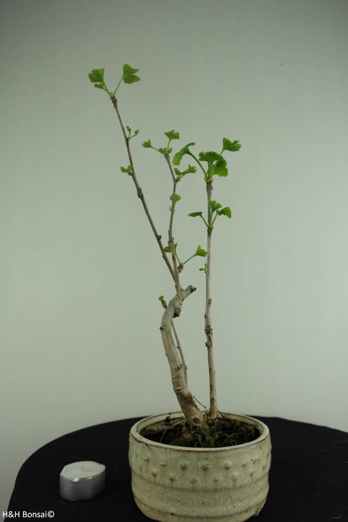 Bonsai Ginkgo biloba, no. 6309