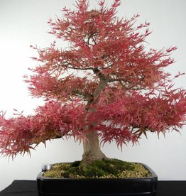 Bonsai L'Erable du Japon Seigen, Acer palmatum Seigen, no. 7053
