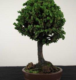 Bonsai Chamaecyparis crispii, no. 2775