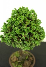 Bonsai Chamaecyparis crispii, no. 2775