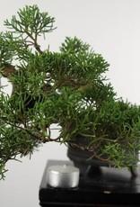 Bonsai Shohin Chinese Juniper, Juniperus chinensis, no. 5128