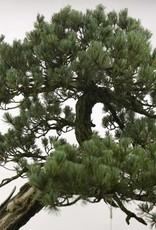 Bonsai White pine, Pinus penthaphylla, no. 5173