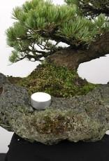 Bonsai White pine, Pinus penthaphylla, no. 5177