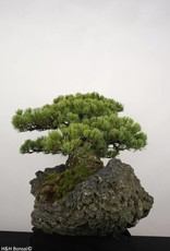 Bonsai White pine, Pinus penthaphylla, no. 5177