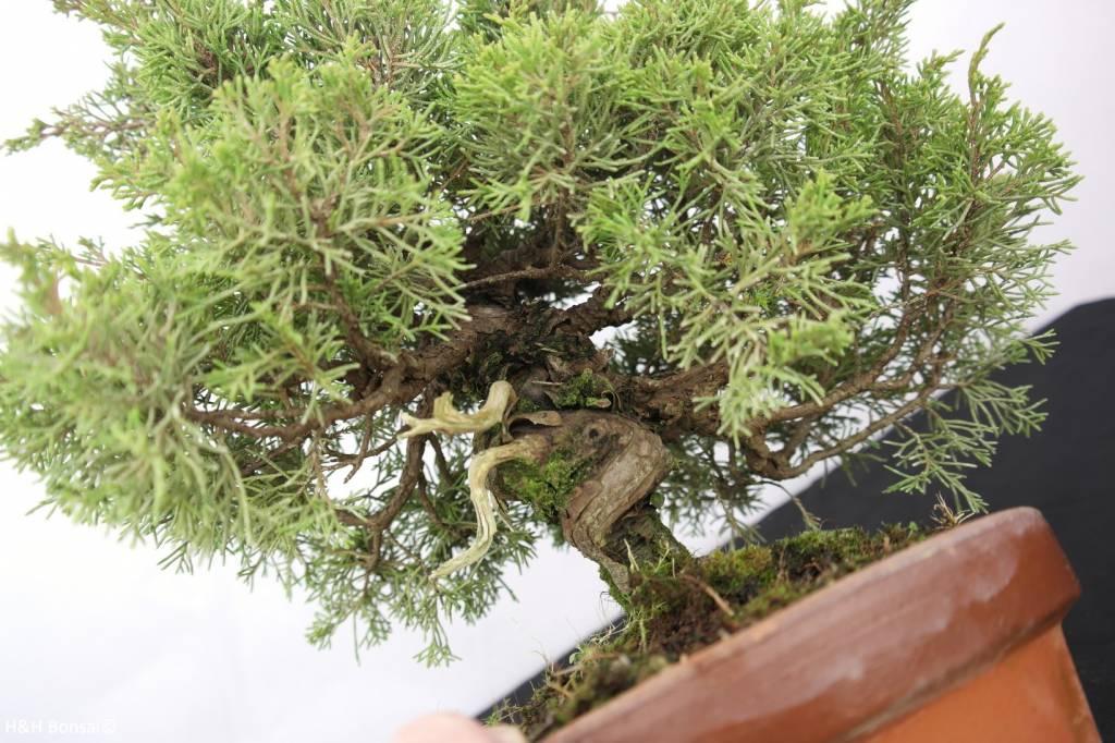 Bonsai Chinese Juniper, Juniperus chinensis itoigawa, no. 5274