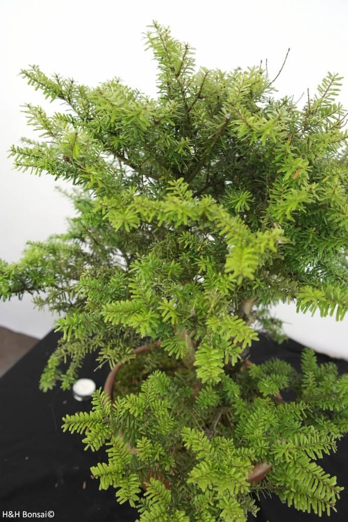 Bonsai Northern Japanese Hemlock, Tsuga diversifolia, no. 5280