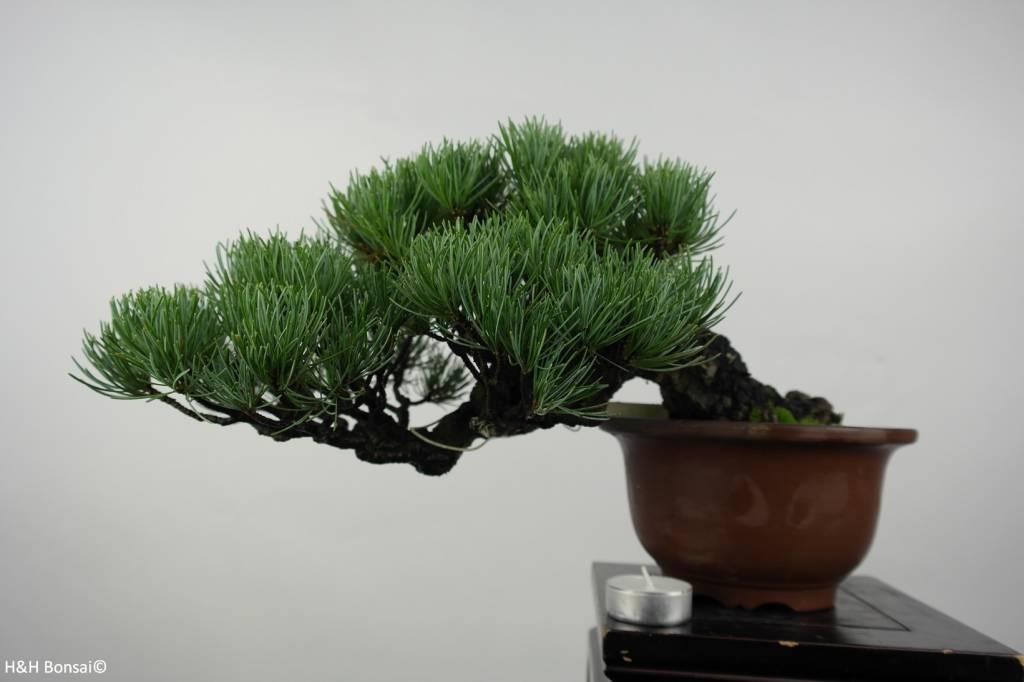 Bonsai Shohin Japanese White pine, Pinus parviflora, no. 5397