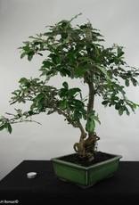 Bonsai Elaeagnus sp., no. 5474