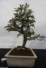 Bonsai Elaeagnus, no. 5524