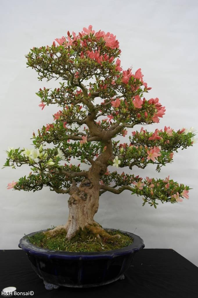 Bonsai azalea satsuki shinkyo no 5684 for Azalea bonsai