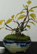 Bonsai Shohin Crabapple, Malus sp., no. 5421