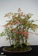 Bonsai Nandina domestica, no. 5531