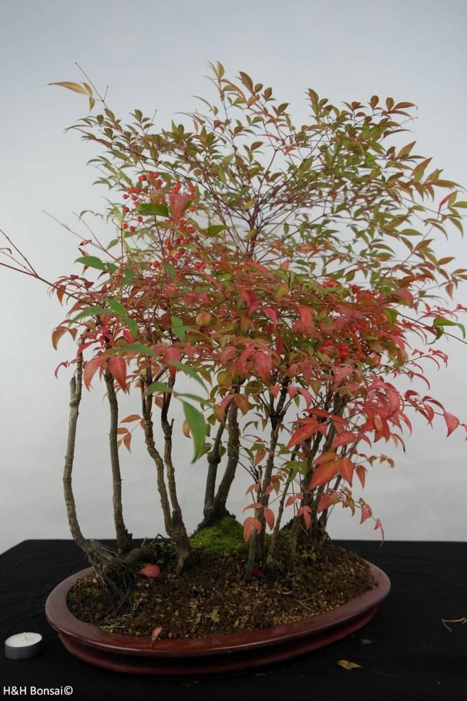 Bonsai Nandina domestica, no. 5532