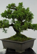 Bonsai Shohin Chinese Juniper, Juniperus chinensis, no. 5535
