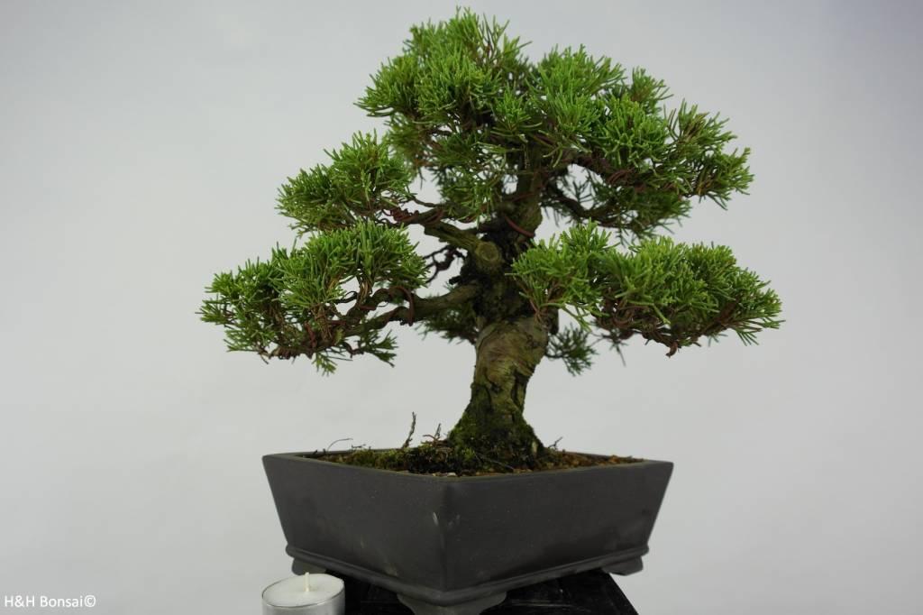 Bonsai Chinese Juniper, Juniperus chinensis, no. 5536