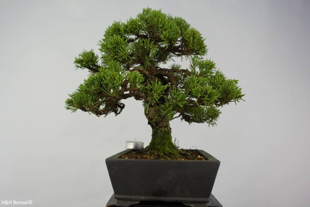 Bonsai Chinese Juniper, Juniperus chinensis, no. 5536