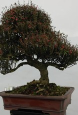 Bonsai Trachelospermum asiaticum, no. 5107