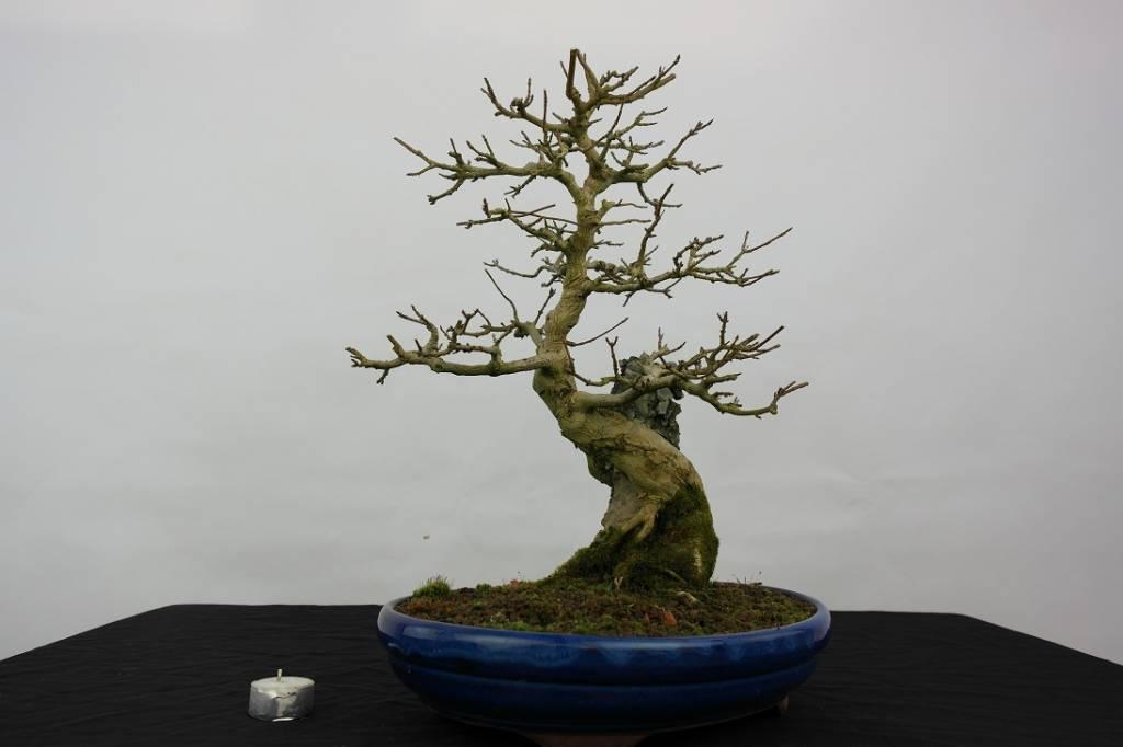 Bonsai Trident maple, Acer buergerianum, no. 5514