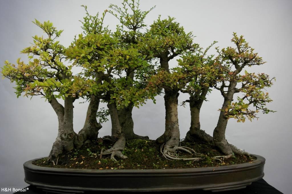 Bonsai Zelkova,forest, no. 5783
