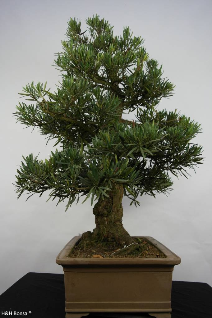 Bonsai Buddhist Pine, Podocarpus, no. 5797