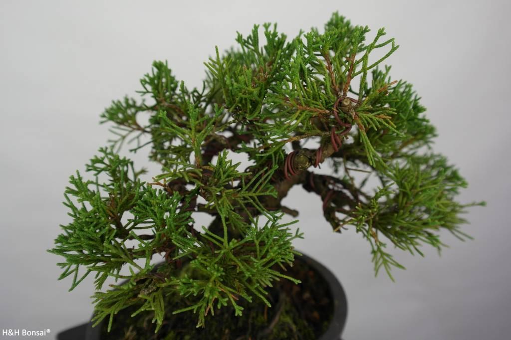 Bonsai Shohin Chinese Juniper, Juniperus chinensis, no. 5800