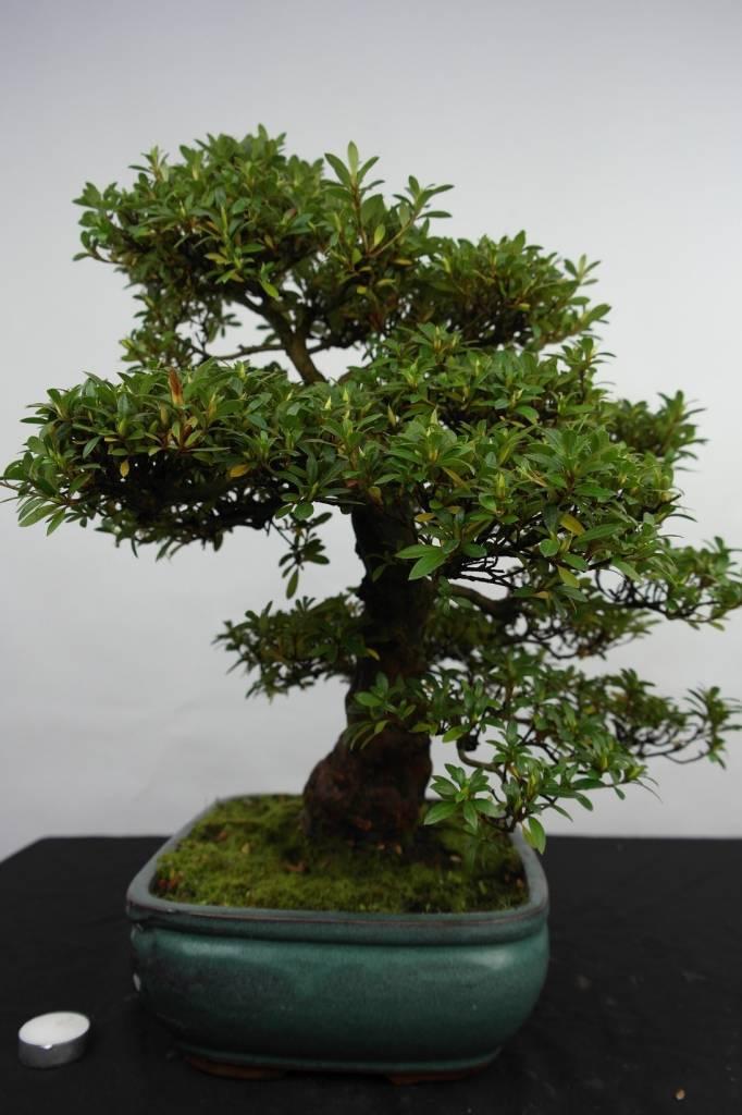 Bonsai Azalea SatsukiJuko no Homare, no. 5686
