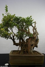 Bonsai Syzygium sp. , no. 5826