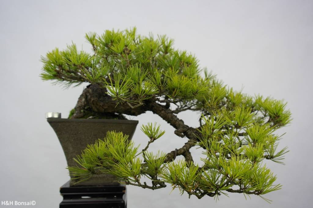 Bonsai Japanese Red Pine, Pinus densiflora, no. 5837