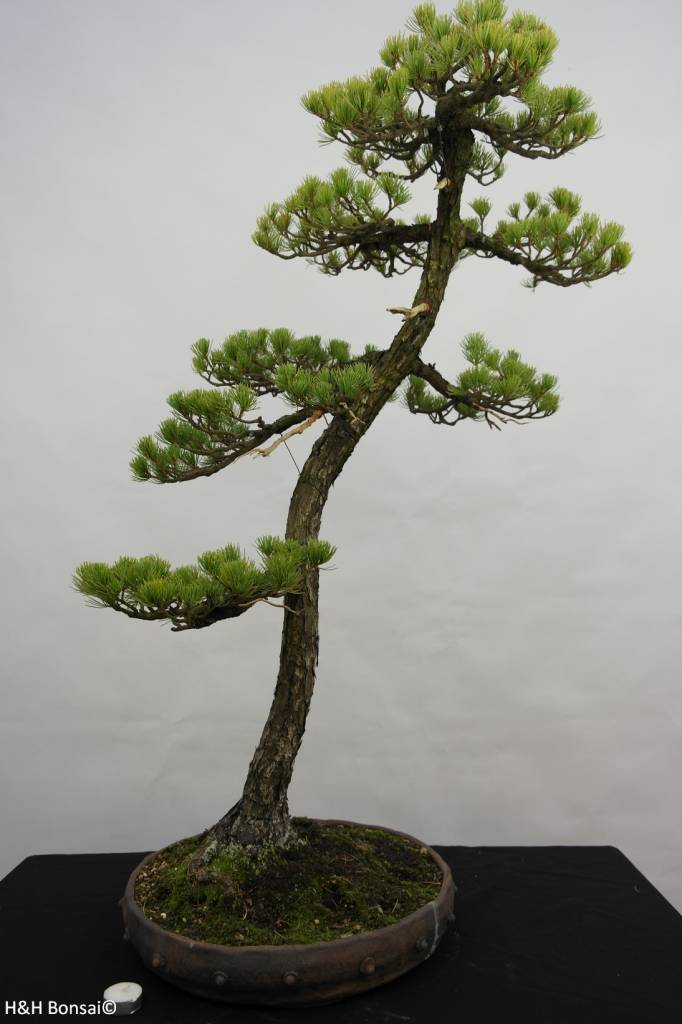 Bonsai Japanese White Pine, Pinus pentaphylla, no. 5838