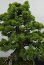 Bonsai Japanese White Pine, Pinus pentaphylla, no. 5843