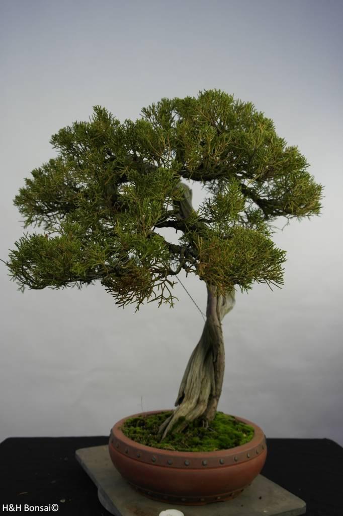 Bonsai Chinese Juniper, Juniperus chinensis itoigawa, no. 5846