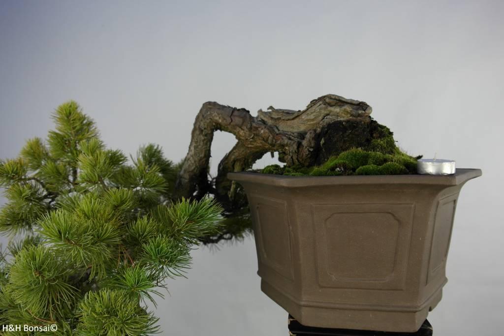 Bonsai Japanese White Pine, Pinus pentaphylla, no. 5848