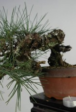 Bonsai Shohin Japanese Black Pine, Pinus thunbergii, no. 5849