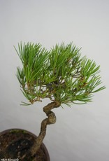 Bonsai Japanese Black Pine, Pinus thunbergii, no. 5855