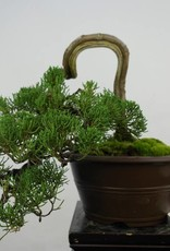 Bonsai Chinese Juniper, Juniperus chinensis, no. 5858