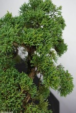 Bonsai Chinese Juniper, Juniperus chinensis, no. 5862