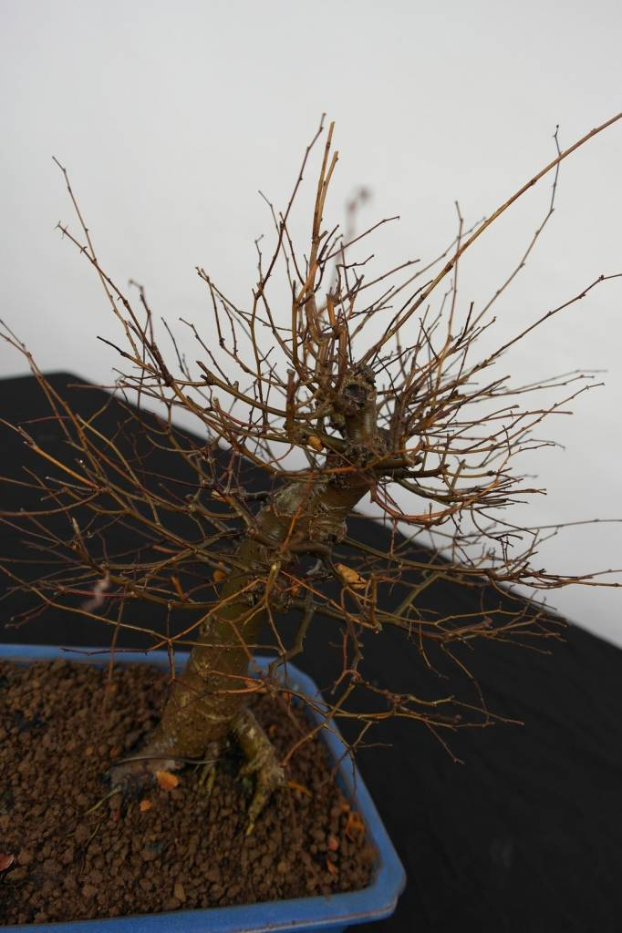 Bonsai Zelkova serrata, no. 5560