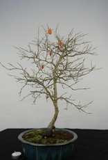 Bonsai Diospyros kaki, Lotus kaki, no. 5576