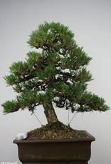 Bonsai Japanese Kotobuki Black Pine, Pinus thunbergii kotobuki, no. 5905
