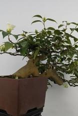 Bonsai Camellia japonica, no. 5537