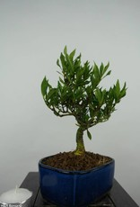 Bonsai Shohin Gardenia, no. 5966