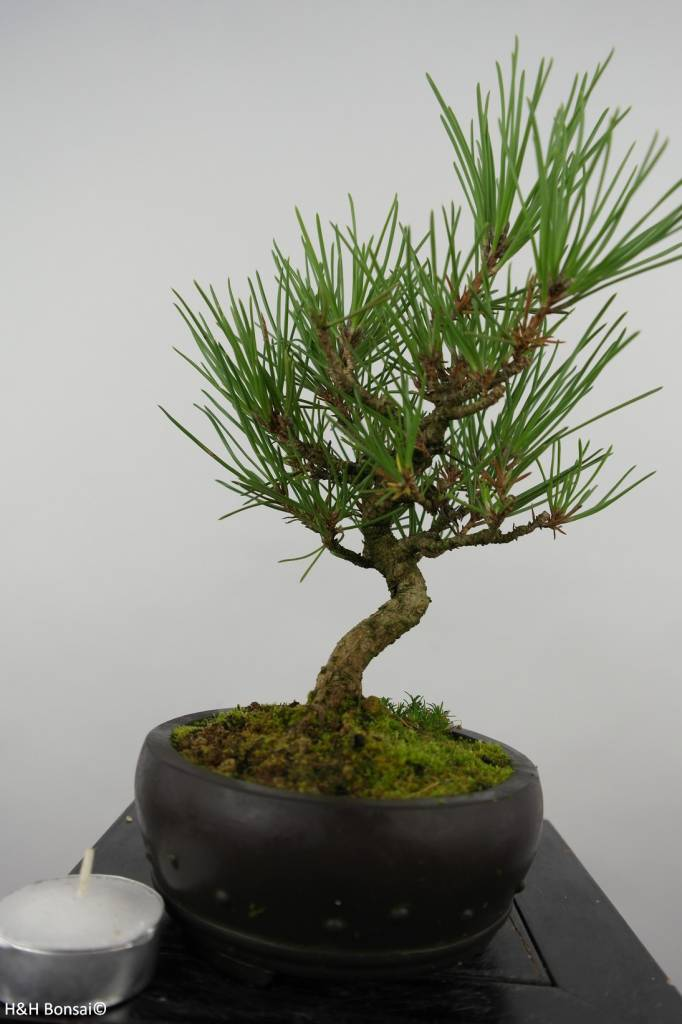 Bonsai Shohin Japanese Black Pine, Pinus thunbergii, no. 6007